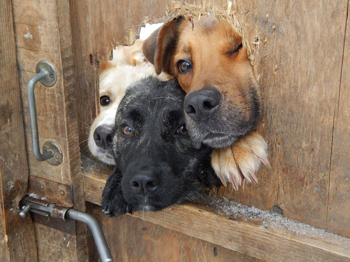 funny-dogs-sticking-heads-through-fences-20-57a2ff01dac31__700